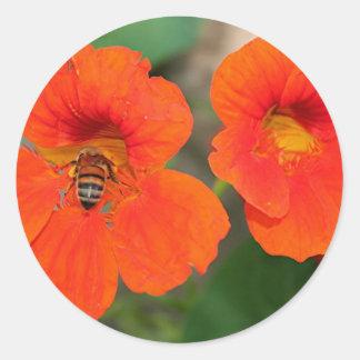 Den orange nasturtiumen blommar i blom runt klistermärke