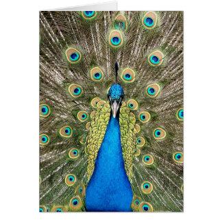 Den Pedro påfågeln befjädrar den färgrika OBS Kort