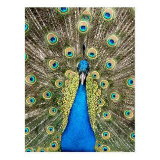 Den Pedro påfågeln befjädrar den färgrika Vykort