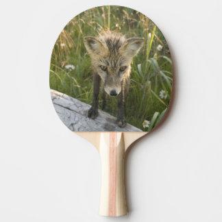 Den röda räven, Vulpesfulva loggar på, vildblommar Pingisracket