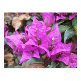Den rosa bougainvilleaen blommar vykortet vykort