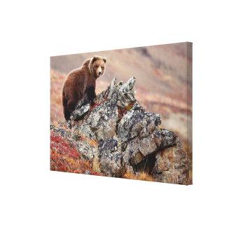 Denali bruntbjörn canvastryck