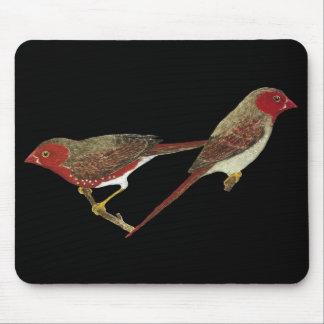 (Denbuktade) Crimson finchen parar Musmatta
