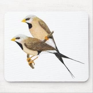 dentailed finchen parar - Poephilaacuticauda Musmatta