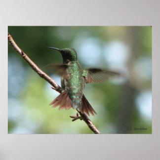 Denthroated hummingbirden tar av poster
