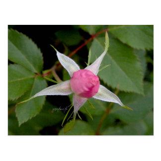 Design för rosa rosjjhelenevykort vykort