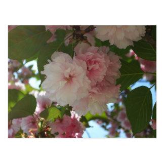 Det dubbla blomstra körsbärsröda träd fjädrar jag vykort