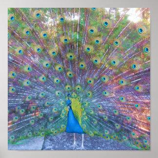 Det färgrika påfågelfotoet avbildar affischen posters