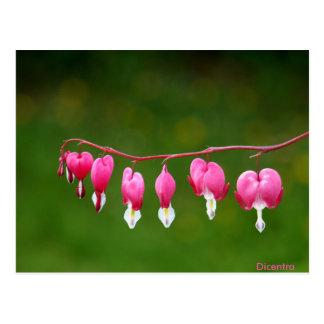 Dicentra - rosa vykort för hjärtaShapeblommigt