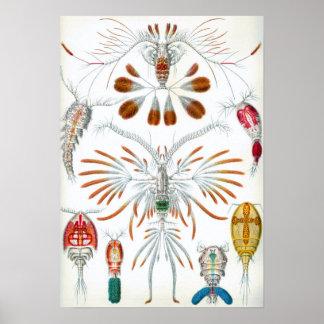 Djur för vintageCopepoda hav av Ernst Haeckel Poster