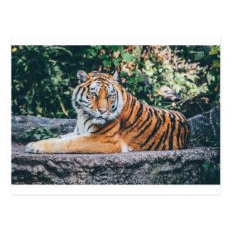 Djur stor Zoo för djurliv för vild katt för Vykort
