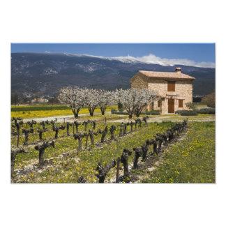 Dormant vingård, fruktblommar, stenhus, fototryck