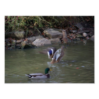 duckar en landning affisch
