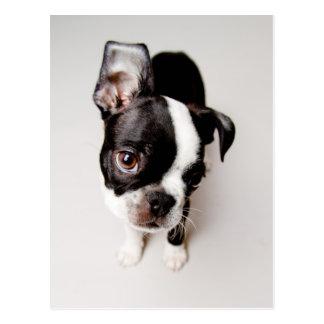 Edison Boston Terrierpuppy. Vykort