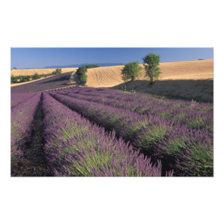 EG frankrike, Provence, lavendelfält 2 Fototryck