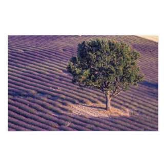 EG frankrike, Provence, lavendelfält 3 Fototryck