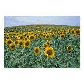 EG frankrike, Provence, solrosfält Fototryck