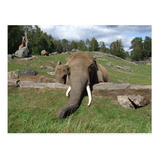 Elefantnärbild Vykort