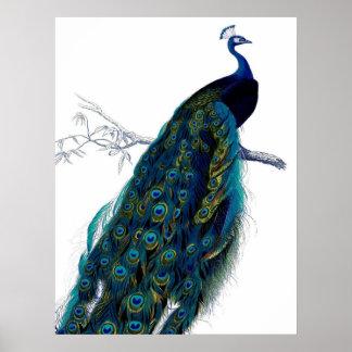 Elegant färgrik påfågel för vintageblått poster