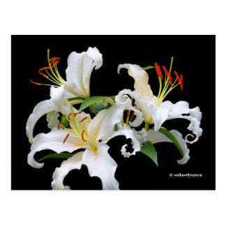 Eleganta liljar för Casablanca vitösterlänning Vykort