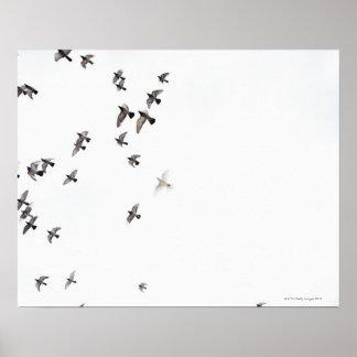 En flock av fåglar flyger på himmlen poster
