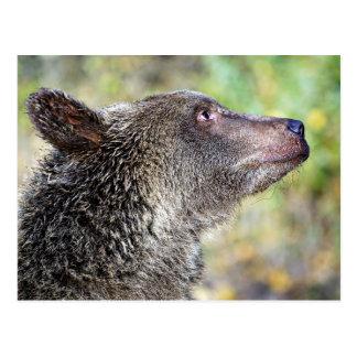 En Grizzly profilerar Vykort