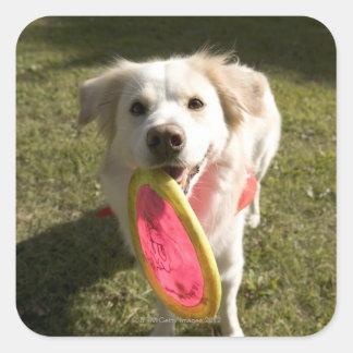 En hund med en frisbee fyrkantigt klistermärke