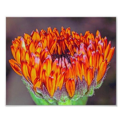 En oöppnad orange Gerberadaisy Fotografi