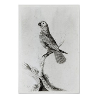 En papegoja, 1786 print