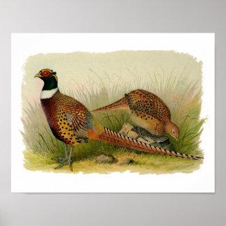 En para av ringen hånglade pheasants i ett gräs- poster