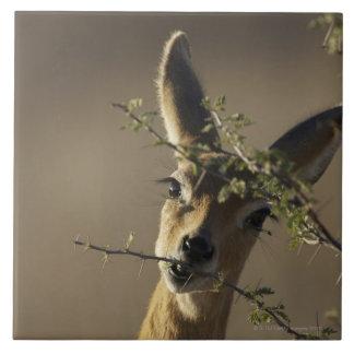 En Steenbok som tittar kamerastunderna som den Kakelplatta