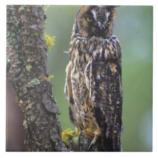 Engå i ax uggla perched på en trädgren nära kakelplatta