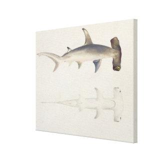 Enhövdad haj, Loheia som tillskrivas förr Canvastryck