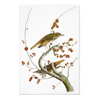 EnslingtrastJohn James Audubon fåglar av Amerika Fototryck