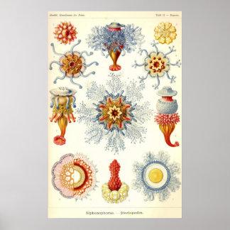 Ernst Haeckel - affisch Siphonophorae2