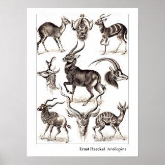 Ernst Haeckel Antilopina med gränsen Poster