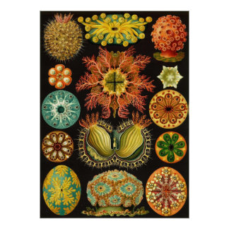 Ernst Haeckel - Ascidiae Poster