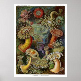 Ernst Haeckel havsanemoner Affisch