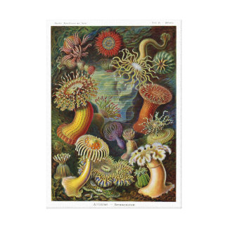Ernst Haeckel havsanemoner Canvasduk Med Gallerikvalitet