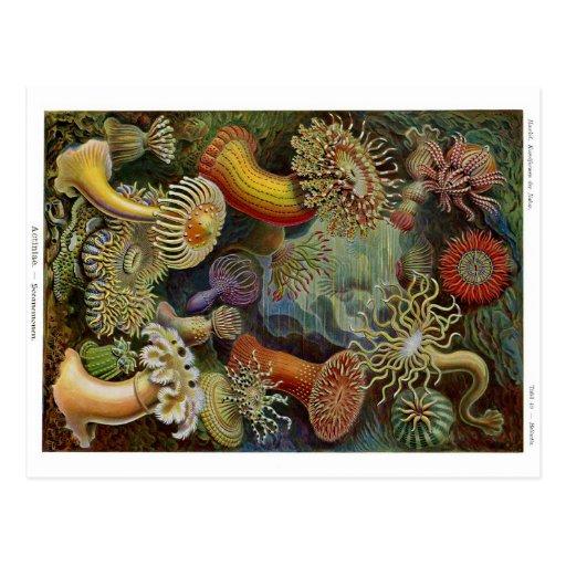 Ernst Haeckel havsanemoner Vykort