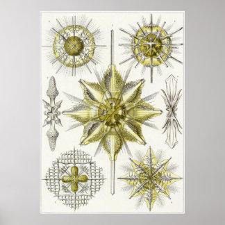 Ernst Haeckel konsttryck: Acanthometra Poster