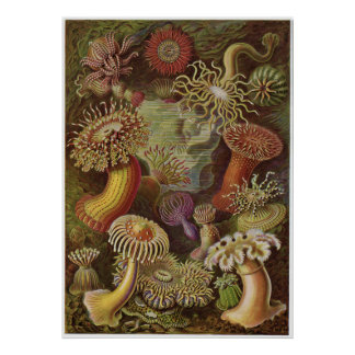Ernst Haeckel konsttryck: Actiniae Poster