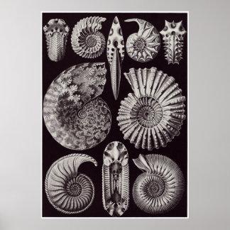 Ernst Haeckel konsttryck: Ammonitida Poster
