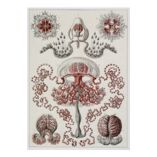 Ernst Haeckel konsttryck: Anthomedusae Poster