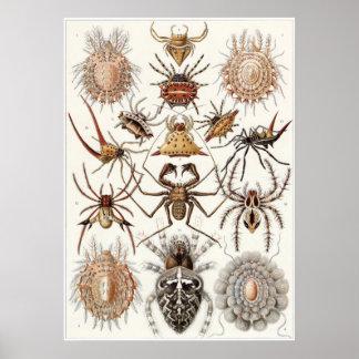Ernst Haeckel konsttryck: Arachnida Poster