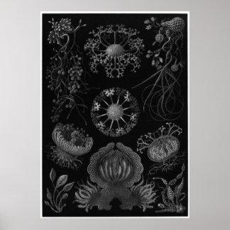 Ernst Haeckel konsttryck: Ascomycetes Poster