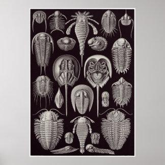 Ernst Haeckel konsttryck: Aspidonia Poster