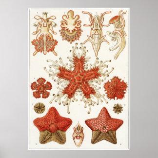 Ernst Haeckel konsttryck: Asteridea Poster