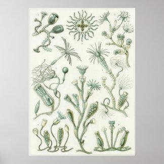 Ernst Haeckel konsttryck: Campanariae Poster