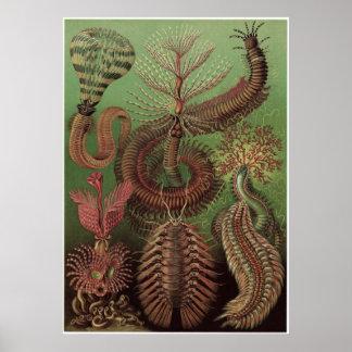 Ernst Haeckel konsttryck: Chaetopoda Poster